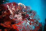 A large lionfish, Pterois volitans, hunts small fish in front of a bright red seafan, Melithaea sp., Pantar Island, Komodo National Park, Indonesia, Pacific Ocean