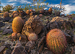 Barrel Cactus, Indian Springs, Mojave National Preserve, California