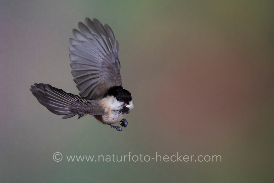 Weidenmeise, Flug, Flugbild, fliegend, mit Vogelfutter im Schnabel, Weiden-Meise, Mönchsmeise, Mönchs-Meise, Meise, Parus montanus, Poecile montanus, willow tit, flight, flying, La Mésange boréale