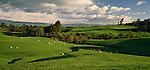 Sheep grazing on rolling farmland near Napier. Hawke's Bay Region New Zealand.