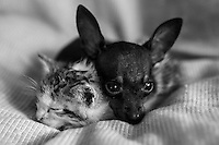 Adopted Chiwawa, Fyglia and an orphaned kitten snuggle up together at CLAW director, Cora Bailey's house in Florida, South Africa. IFAW's CLAW program, which Bailey founded, provides veterinary services to cats and dogs in some of the poorest shantytowns outside of Johannesburg, South Africa.  2/23/12 Julia Cumes/IFAW