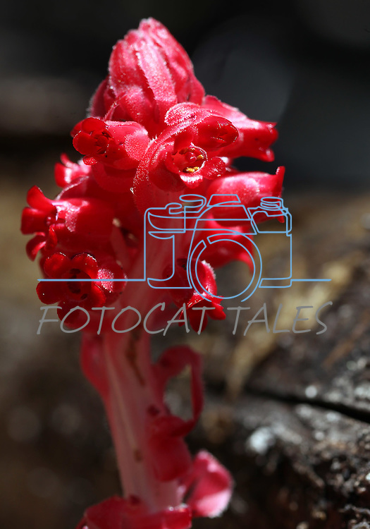 A snow plant blooms near the Hot Springs Creek Falls on Thursday, June 30, 2011, near Markleeville, Ca. .Photo by Cathleen Allison