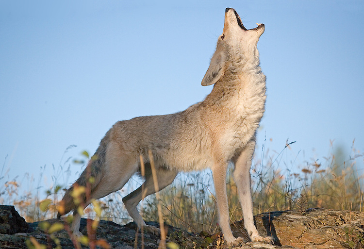 Coyote howling in the early morning on top of a ledge.-CA