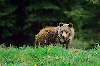 Grizzly bear cub (Ursus arctos), Northern Rockies.  June.