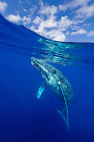 Above and below view of humpback whale, Maui, Hawaii, USA.