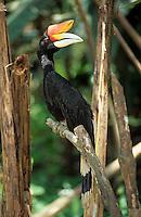 Asie/Malaisie/Kuala Lumpur: Parc aux oiseaux - Calao Rhinicéros