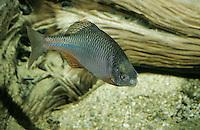 Bitterling, Männchen mit Balzausschlag, Rhodeus amarus, Rhodeus sericeus amarus, European Bitterling