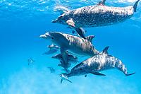Atlantic spotted dolphins, Stenella frontalis, Grand Bahama, Bahamas, Caribbean Sea, Atlantic Ocean