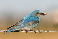 Male mountain bluebird perched on barbed wire with an insect
