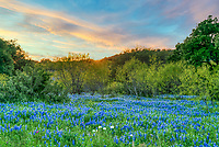 Sunset Over Hill Country Bluebonnets  - We capture this sunset sky over a field of Texas hill country bluebonnets with a backdrop of mesquite, oaks, and cedar trees. This was a hugh field of bluebonnets on this ranch land that seem to pop at the end of the season after a rain event that seem to renew the wildflowers.  We came back here many times because there were so many texas bluebonnets wildflowers for miles and miles in this area.  These bluebonnets with a few poppies made a lovely texas landscape scene in the hill country.  We love our bluebonnet in Texas but you never know where they might come up one year they will be so plentiful in some area and the next you come back to the same area and nothing.  Its always a mystery as to where they will show up we have been known to drive hundreds of miles looking for them.