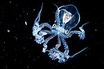 Pictured: Wunderpus Larva: An Octopus<br /> <br /> Alien-looking sea creatures which measure just millimetres are seen floating in the darkness of the ocean.  Photos of the see-through black-water larvae, octopus, fish and eels - taken at depths of between 15 and 30 metres below the surface - show the organs of the tiny beings in striking detail.<br /> <br /> Exceptional skill and a keen eye are required to find and photograph the creatures, which measure between one millimetre and two centimetres in size and move quickly through the dark waters.  Photographer Yung-Sen Wu took these pictures off the Philippines and Taiwan, and says it is a challenging task to complete in the pitch-black waters.  SEE OUR COPY FOR DETAILS.<br /> <br /> Please byline: Yung-Sen Wu/Solent News<br /> <br /> © Yung-Sen Wu/Solent News & Photo Agency<br /> UK +44 (0) 2380 458800