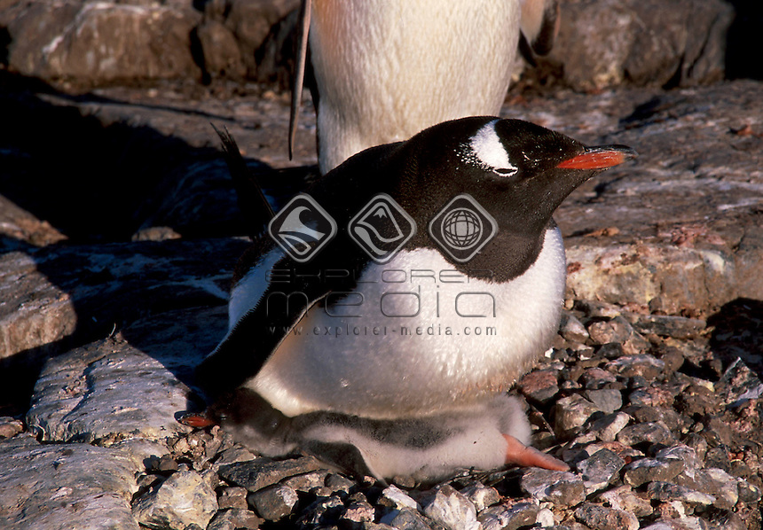 Gentoo Penguin<br />