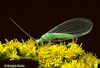 1L01-028b  Green Lacewing adult on goldenrod - Chrysopa spp.
