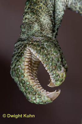 CH37-515z  Jackson's Chameleon or Three-horned Chameleon, Close-up of grasping foot used to climb trees, Chamaeleo jacksonii