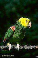 PA01-018z  Yellow-headed Amazon Parrot - Amazona ochrocephala