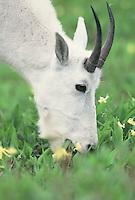 Mountain Goat feeds .