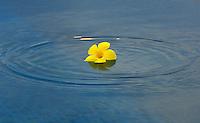 FLOWER AND POOL, PALAU, MICRONESIA