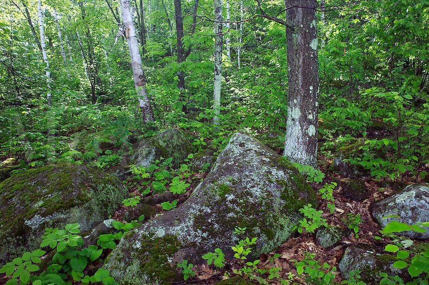 Ferns, birch trees and rock outcroppings, Banning State Park, Minnesota