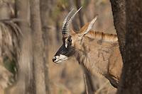 Roan Antelope in Niokolakoba Nature Reserve, Senegal