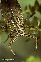 WS07-003b   Giant Waterbug waits ready to ambush an unsuspecting prey -  Lethocerus spp.