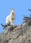 Mountain Goats at Avalanche Gulch