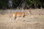 Male Pampas Deer (Ozotoceros bezoarcticus). Pousada Aguape, southern Pantanal, Mato Grosso do Sul, Brazil.