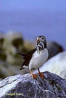 MC37-005a  Atlantic Puffin - holding fish catch in beak at Machias Seal Island, Bay of Fundy - Fratercula arctica