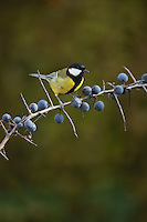Great Tit (Parus major), adult male perched on Blackthorn (Prunus spinosa) with berries, Oberaegeri, Switzerland, Europe
