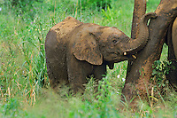 Juvenile African Elephant rubbing against tree trunk after having taken a mud bath.
