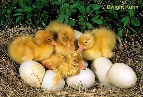 DG20-028z  Pekin duck - just hatched