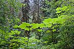 Rain Forest near Lake Quinault.  Olympic Peninsula.  Olympic National Park, Washington State.