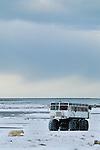 Tourists approach a polar bear in Churchill, Manitoba, Canada