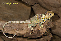 1R17-527z  Collared Lizard, Male, Crotaphytus collaris