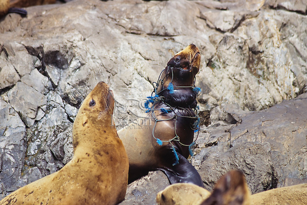 Northern Sea Lion or Steller Sea lion (Eumetopias jubatus), Pacific Northwest coast. Being strangled by piece of old fishing net.