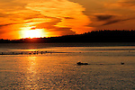 A grizzly bear, Ursus arctos horribilis, wades the river at sunset in search of salmon in Alaska.