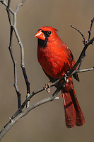 Cardinal male perched in a Redbud Tree. The first small red buds have just formed, upper right.