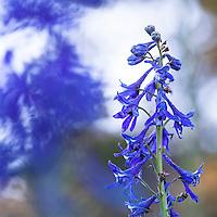 Delphinium glaucum, Sierra Larkspur, blue flowering wildflower in Martin Meadow, Eldorado National Forest