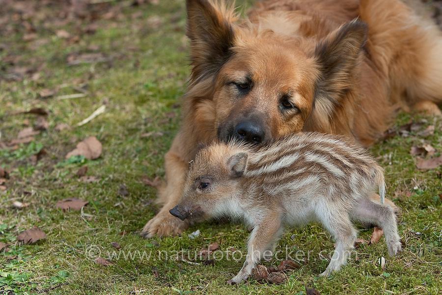 """Wildschwein, verwaistes, pflegebedürftiges, in Menschenhand gepflegtes, zahmes Jungtier spielt mit Hund im Garten, Hund leckt den Frischling sauber, Freundschaft zwischen Hund """"Laska"""" und Wildtier, Wild-Schwein, Schwarzwild, Schwarz-Wild, Frischling, Junges, Jungtier, Tierkind, Tierbaby, Tierbabies, Schwein, Sus scrofa, wild boar, pig"""
