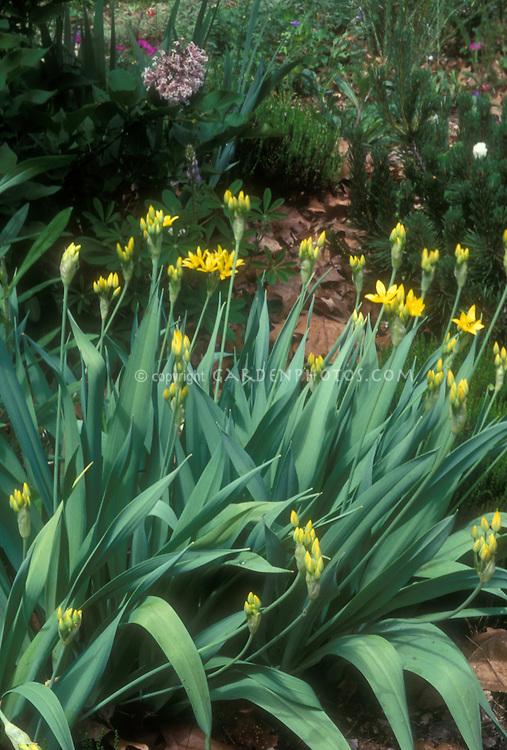 Allium moly, yellow flowered bulbs