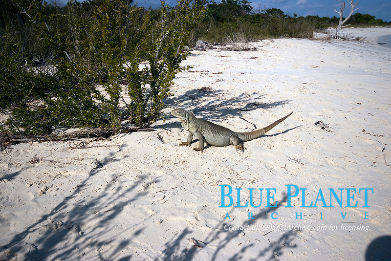 Turks and Caicos Rock Iguana, cyclura carinate, is found no where else on earth. There are reported to be around 50,000 scattered throughout 50-60 of the 200 islands that make up the Turks and Caicos. The are shy and harmless and can live to over 20 years of age.