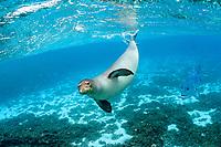 Hawaiian monk seal, Neomonachus schauinslandi, and giant trevally, Caranx ignobilis, Papahanaumokuakea Marine National Monument, the largest marine protected area in the world, Kure, Northwestern Hawaiian Islands, Hawaii, USA, Pacific Ocean