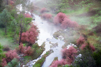 Saltcedar or Five-Stamen Tamarisk (Tamarix chinensis {ramosissima} along banks of Bear Creek with fog. Bear Valley, California
