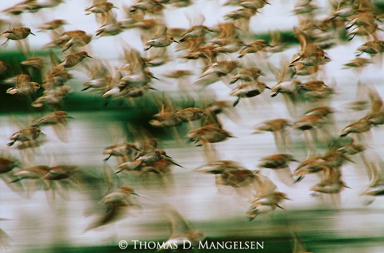 Western sandpipers  in flight.