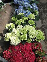 English Hydrangeas