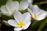 Close-up of white plumeria with soft background