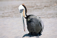 Brown Pelican (Pelecanus occidentalis) preening on Beach near Santa Barbara, CA, California, USA - North American Bird