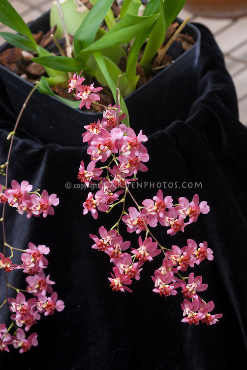 Orchid Oncidium Twinkle showing plant foliage and flower sprays of little red pink blooms in pot