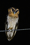 Brown Wood Owl<br /> (Strix leptogrammica) at night, Deramakot Forest Reserve, Sabah, Borneo, Malaysia