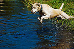 Yellow Lab playing in the water