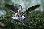 Great blue herons, Florida